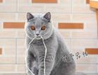【钟爱宠物】美国CFA注册蓝猫幼猫出售