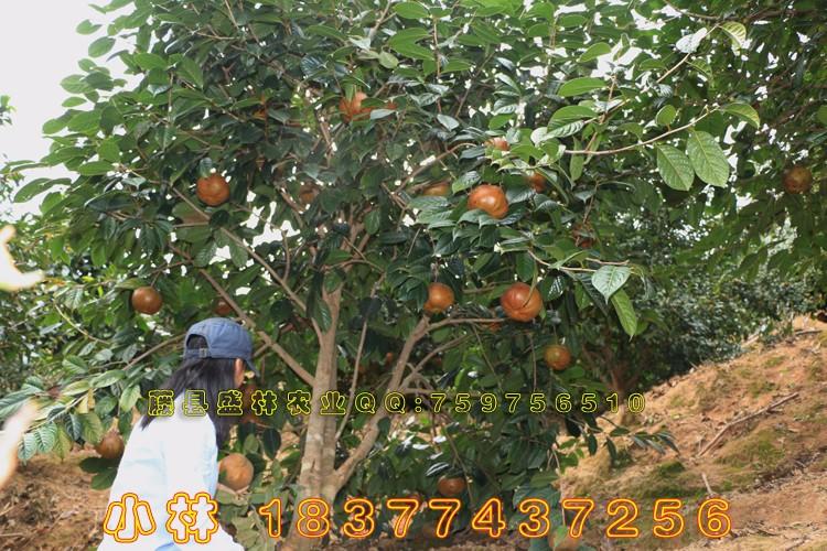 广西藤县大红花油茶简介 红花大果油茶种植基地