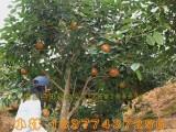 盛林农业红花油茶树苗价格及规格 广西红花油茶树苗种植技术