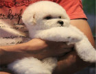 比熊宝宝 高品质宠物狗狗 多少钱 长多大