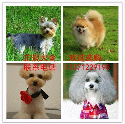 正规犬舍直销金毛 泰迪 卡斯罗等名犬 包纯 包邮 包健康