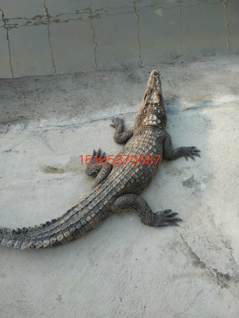 黄南鳄鱼肉多少钱一只,哪里有养殖鳄鱼的呢
