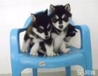 全实物拍摄 阿拉斯加幼犬出售 明码实价