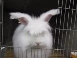 出售大量杂交野兔种兔小兔苗
