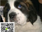 在哪里买纯种的圣伯纳幼犬 圣伯纳幼犬最低多少钱