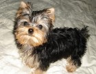台州哪有约克夏犬卖 台州约克夏犬价格 台州约克夏犬多少钱