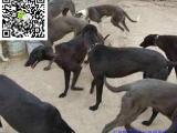 丽水哪里有卖格力犬 丽水格力犬多少钱 丽水格力犬图片