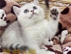广州买银渐层到哪里好 卖猫到紫藤猫阁 保证健康