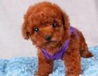 高品质的泰迪幼犬出售了 疫苗做完 质量三包