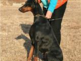 杜宾犬的价格 哪有卖杜宾犬幼犬的