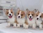 北京出售 柯基幼犬 纯种健康保障 疫苗驱虫已做 签协议