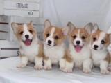 贵阳出售 纯种柯基犬,包犬温细小,签订纯种健康