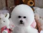 自家繁殖的一窝纯种卷毛比熊幼犬 喜欢的联系我看狗