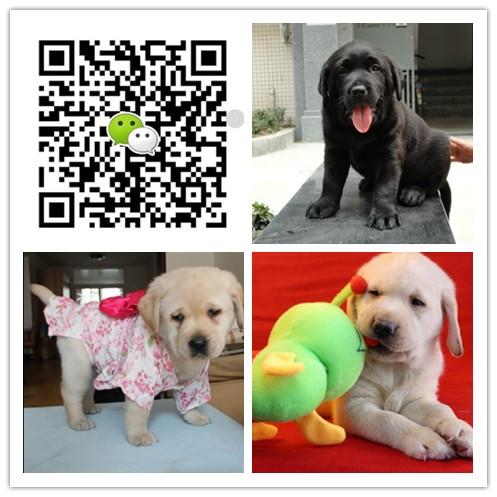 重庆出售纯种拉布拉多犬 自家养殖 当面测试交易 同城免费送狗