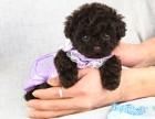 泰迪犬价格 泰迪犬多少钱一只 泰迪犬图片 超小超小茶杯泰迪