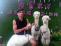 广州迷你羊驼出租矮马香猪孔雀一应俱全