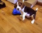 正宗乖巧迷人的小比格猎犬幼犬