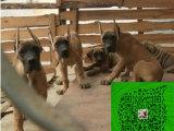 纯种出售 大丹犬公母幼犬 血统纯正骨骼大