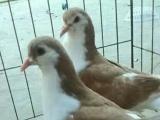 精品海拉尔鸽子出售颜色齐全价格低
