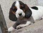 浦东哪里有巴吉度猎犬卖 浦东巴吉度猎犬价格 巴吉度猎犬多少钱