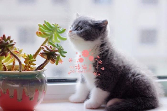 哈尔滨哪里有正规宠物店买卖蓝猫 哈尔滨较便宜蓝猫多少钱