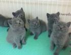 纯种蓝猫 个个都是包子脸 蓝胖子 公母都有 疫苗齐全