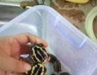 出售自家养殖老种龟南石头苗,健康易大,有想法的老板请联系