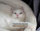 呼和浩特买猫 漂亮可爱性格温婉布偶猫 纯种健康超漂亮蓝眼睛
