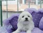 出售法国卷毛比熊纯种白比熊幼犬可上门看狗质量保证
