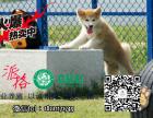 基地直销纯种赛级日本秋田犬 喜欢的朋友上门看狗