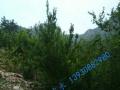 百亩石榴园 常年出售各种石榴树苗