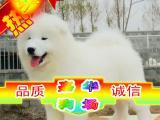买纯种萨摩幼犬/三年联保签协议/赠狗狗户口