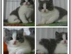 精品猫舍专业繁殖蓝猫蠢萌型 健康无廯送货上门 支持空运