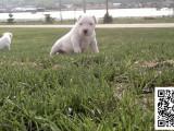 杜高犬纯正健康出售-幼犬出售,当地可以上门挑选