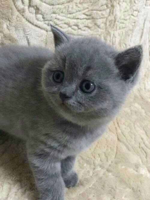 泉州哪里有蓝猫卖 蠢萌型 健康无廯送货上门 支持空运