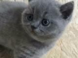 沈阳里有蓝猫卖 蠢萌型 健康无廯送货上门 支持空运