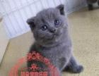 纯种健康可爱英短超级萌萌哒 小蓝猫小懒猫baby