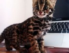 广州哪里有孟加拉豹猫卖 野性外表温柔家猫性格 时尚 漂亮