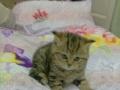 超可爱自家大猫产小喵找新家,低价900