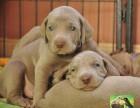 纯种威玛猎犬,德国短毛魏玛犬 疫苗驱虫已做