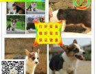 狗场直销-纯种阿拉斯加-等多个品种