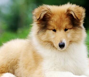 狗场里的苏格兰牧羊犬能不能养活 价格贵不贵