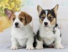 成都 純種柯基幼犬 疫苗齊全出售中 可簽協議健康保障