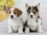 成都 纯种柯基幼犬 疫苗齐全出售中 可签协议健康保障