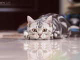 精品英短猫出售 自家繁育 纯种健康