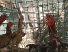 长期出售纯种泰国斗鸡