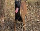 比利时马犬养殖场 纯种比利时马犬价格 马犬哪里有卖的