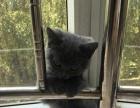 英短蓝猫,3月半弟弟找新家