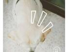 纯种拉布拉多奶白色10个月公