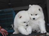 双眼皮品相好 双血统萨摩耶幼犬 超级萌物 多只待售